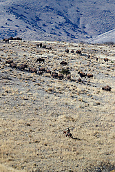 Ranch manager on horseback during bison roundup, Ladder Ranch, west of Truth or Consequences, New Mexico, USA.