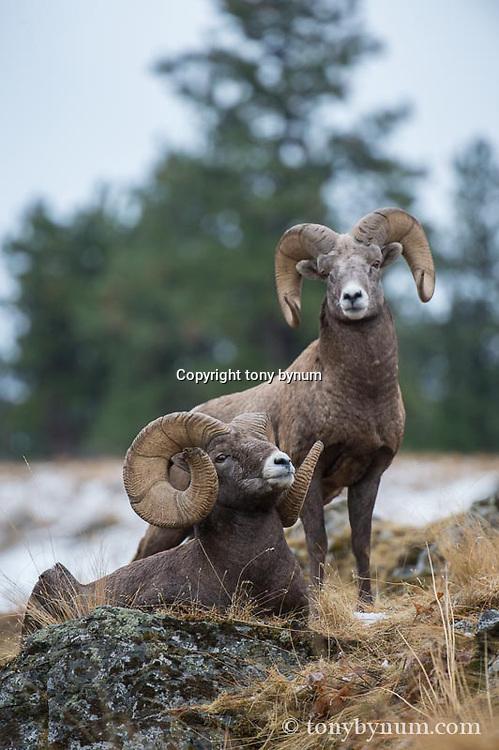 trophy bighorn sheep on rock