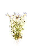 Bluets (Houstonia caerulea) - whole plant on a white background
