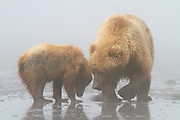 Sow and cub Brown or Grizzly Bear, Lake Clark National Park, Alaska.