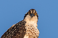 The intense stare of an adult osprey.