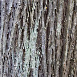 Atlantic White Cedar bark, Chamaecyparis thyoides, in Maine's Acadia National Park.  Also called Southern White Cedar or Swamp Cedar.