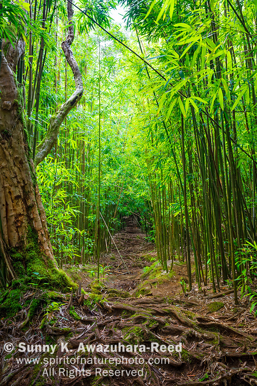 Bamboo forest along a narrow trail.  Tree roots spreading in the foreground. Aihualama Trail, Honolulu, Oahu Island, Hawaii.