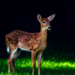 A young doe peeks from the shadows on a blanket of felted green grass