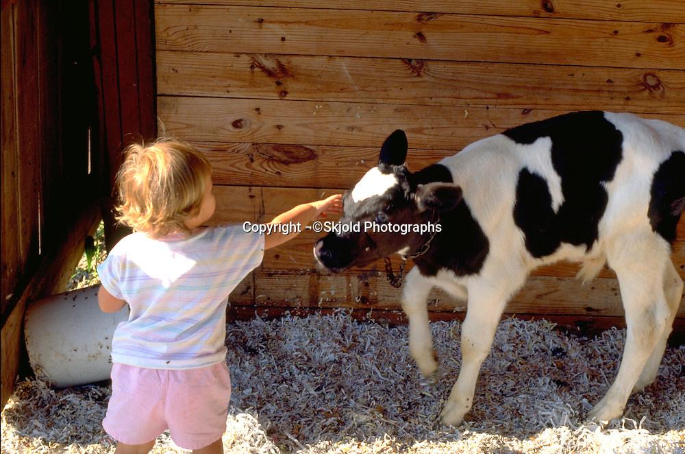 Girl age 2 petting baby calf on farm.  Beaver Dam Wisconsin USA
