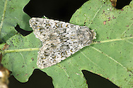 Large Ranunculus - Polymixis flavicincta