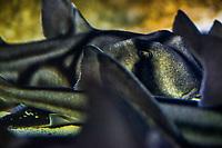Aquarium de Lyon: Requins dormeurs, dit Taureaux, dit de Port Jackson.<br /> Port Jackson Sharks