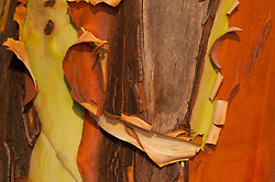 Madrona Tree (Arbutus menziesii) Close-up, San Juan Island, Washington, US
