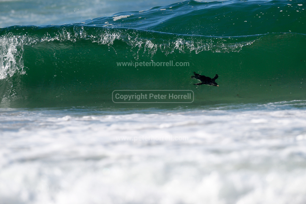 A Southern Rockhopper penguin surfs a wave in to shore on Saunders Island on Sunday 4th February 2018.