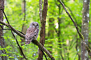 A Barred Owl (Strix varia) in Campbell Valley Park