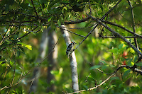 Downy Woodpecker hunted down and photographed in the Fakahatchee Strand in SW Florida. It is very difficult to follow any bird in the swamps!