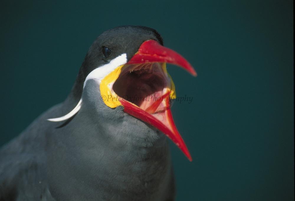 Inca Tern<br />Larosterna inca<br />Arequipa, PERU.  South America<br />RANGE; Islands off Peru & Chile up to N. Ecuador
