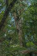 A huge tree is mushrooming out of the dense understorey of thick native forest at the eastern side of Pureora forest.