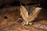 Dead-leaf Katydid (Tettigoniidae)<br /> Yasuni National Park, Amazon Rainforest<br /> ECUADOR. South America<br /> HABITAT & RANGE: