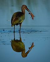 This White-faced Ibis  (Plegadis chihi) and meal were both struggling.