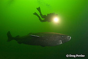Greenland sleeper shark, Somniosus microcephalus, and diver, St. Lawrence River estuary, Canada (this shark was wild & unrestrained; it was not hooked and tail-roped as in most or all photos from the Arctic) MR 374