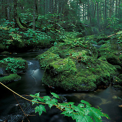 White Mountain N.F., NH..Bog Brook Trail.  Bog Brook. Mountain maple.
