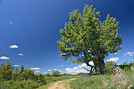 Cottonwood Tree - Populus freemontii - The Badlands, Dinosaur Provincial Park, Alberta, Canada
