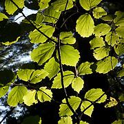 Backlit American Beech Tree leaves