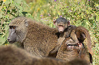 A juvenile Olive Baboon, Papio anubis, rides on an adult's back in Ngorongoro Crater, Ngorongoro Conservation Area, Tanzania