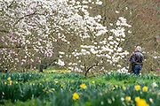 © Licensed to London News Pictures. 17/03/2014. Kew, UK People walk through daffodils next to a colourful display of magnolias. People enjoy the occasional sunshine at Kew Gardens today 17th March 2014. Photo credit : Stephen Simpson/LNP