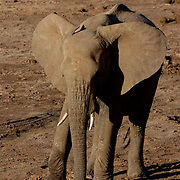 African Elephant ( Loxodanta africana) Young elephant trying to dig for water in dry riverbed. Samburu Game Reserve. Kenya. Africa.