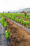 Perspective view over the plantation along the rows of young vines. Woman women working the soil with a tool. Protecting their heads against the scorching sun. Fidal vine nursery and winery, Zejmen, Lezhe. Albania, Balkan, Europe.