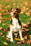 Frieda the Jack Russell (with a bit of something else)