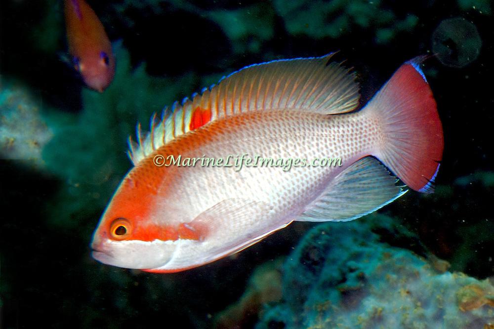 Stocky Anthias inhabit reefs. Pictue taken Ambon, Indonesia.