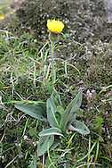 SPOTTED CAT'S-EAR Hypochaeris maculata Height to 30cm<br /> Rather distinctive perennial that grows in dry grassland and on broken, rocky slopes, mainly on calcareous soils. FLOWERS are borne in heads 3-5cm across, with lemon yellow florets and blackish bracts; heads are solitary and carried on bristly stalks (Jun-Aug). Has scales between florets. FRUITS have feathery hairs. LEAVES are ovate, wavy-edged, bristly and marked with reddish purple spots. STATUS-Rare and local.