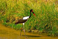 Saddle-billed stork and a Monitor lizard, Tarangire River, Tarangire National Park, Tanzania