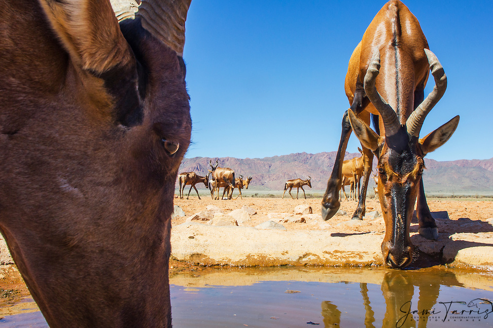 A wide angle, close-up of a herd of hartebeest (Alcelaphus buselaphus) approaching a water hole in the Namib Desert, Namib Desert, Namibia, Africa