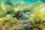 Bluegills spawning<br /> <br /> Roger Peterson/Engbretson Underwater Photo