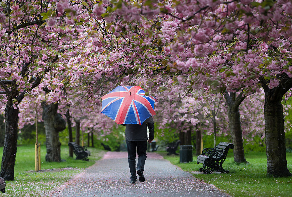 © Licensed to London News Pictures. 30/04/2018. London, UK. A person with a union jack umbrella walks through cherry blossom trees during wet and windy weather in Greenwich Park in London. The capital has been experiencing heavy rain and windy weather today. Photo credit: Vickie Flores/LNP