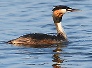 Water drpos form on the waterproof feathers of a  great crested grebe (Podiceps cristatus) as it surfaces on a lake at Rye Harbour Nature Reserve. Rye, Sussex, UK