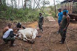 El Diamante, Meta, Colombia - 17.09.2016        <br /> <br /> FARC fighter slaughter a cow near their guerilla camp during the 10th conference of the marxist FARC-EP in El Diamante, a Guerilla controlled area in the Colombian district Meta. Few days ahead of the peace contract passing after 52 years of war with the Colombian Governement wants the FARC decide on the 7-days long conferce their transformation into a unarmed political organization. <br /> <br /> FARC Kaempfer schlachten eine Kuh neben ihrem Guerilla-Camp bei der zehnten Konferenz der marxistischen FARC-EP in El Diamante, einem von der Guerilla kontrollierten Gebiet in der kolumbianischen Region Meta. Wenige Tage vor der geplanten Verabschiedung eines Friedensvertrags nach 52 Jahren Krieg mit der kolumbianischen Regierung will die FARC auf ihrer sieben taegigen Konferenz die Umwandlung in eine unbewaffneten politischen Organisation beschlieflen. <br />  <br /> Photo: Bjoern Kietzmann