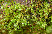 Orthotrichum lyellii, isolated tuftes on branches of trees and strubs, Olive gree. Gemmae common on leaves, long & narrow leaves with tips strongly diverge, Mostly alder, Maples & shrubs.