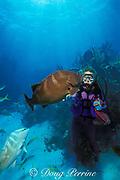 diver with friendly Nassau grouper, <br /> Epinephelus striatus, at White Hole, Walker's Cay, <br /> Bahamas ( Western Atlantic Ocean )  MR 89