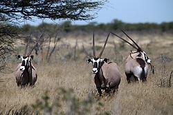 NAMIBIA ETOSHA 29APR14 - Oryx gazella, or Gemsbok near Namutoni, Etosha National Park, Namibia. <br /> <br /> jre/Photo by Jiri Rezac<br /> <br /> © Jiri Rezac 2014