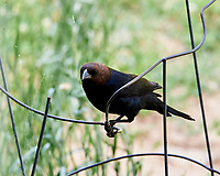 Brown-headed Cowbird.  Image taken with a Nikon D4 camera and 200 mm f/2 VR lens