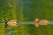 Mallard duck (Anas platyrhynchos)  male and female<br />Winnipeg<br />Manitoba<br />Canada