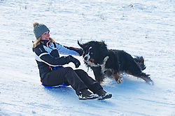 © Licensed to London News Pictures 11/02/2021.        Sevenoaks, UK. The family dog trying to get in on the action. Lockdown sledging fun at Knole Park in Sevenoaks, Kent as the freezing cold weather continues in Kent and the South East with more snow expected. Photo credit:Grant Falvey/LNP