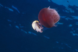 This rare photo shows a Muddy Argonaut, a.k.a. Paper Nautilus, Argonauta hians, grasping a jellyfish while feeding on a Comb Jelly. The Argonaut apparently uses the jellyfish to shield itself from predators. Argonauts are not true nautiluses, but rather a family of open-ocean octopuses.  Only the females produce the delicately beautiful shell, which is actually an egg case.  Mergui Archipelago, Myanmar, Andaman Sea, Indian Ocean