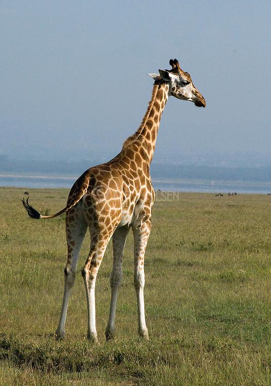 The critically endangered Rothchild's Giraffe, Giraffa camelopardalis rothschildi, from Lake Nakuru, Kenya.