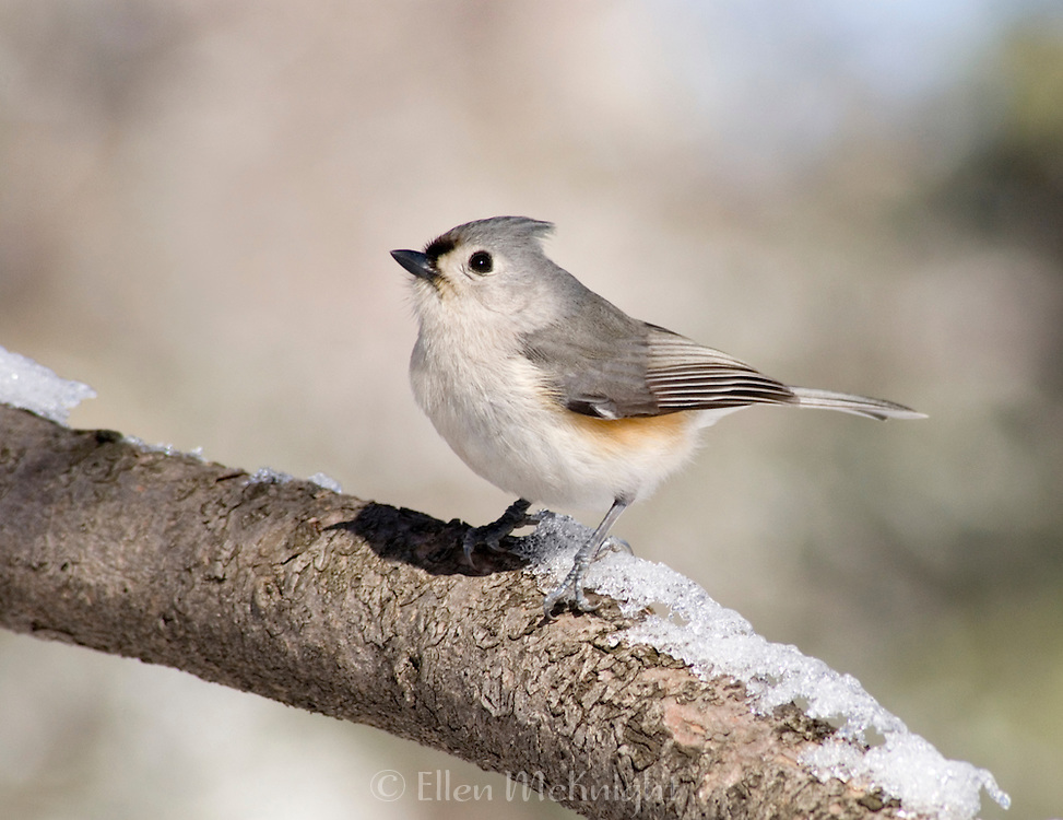 Tufted Titmouse (Parus bicolor) Sitting on a Snow Covered Branch in Central Park, NYC