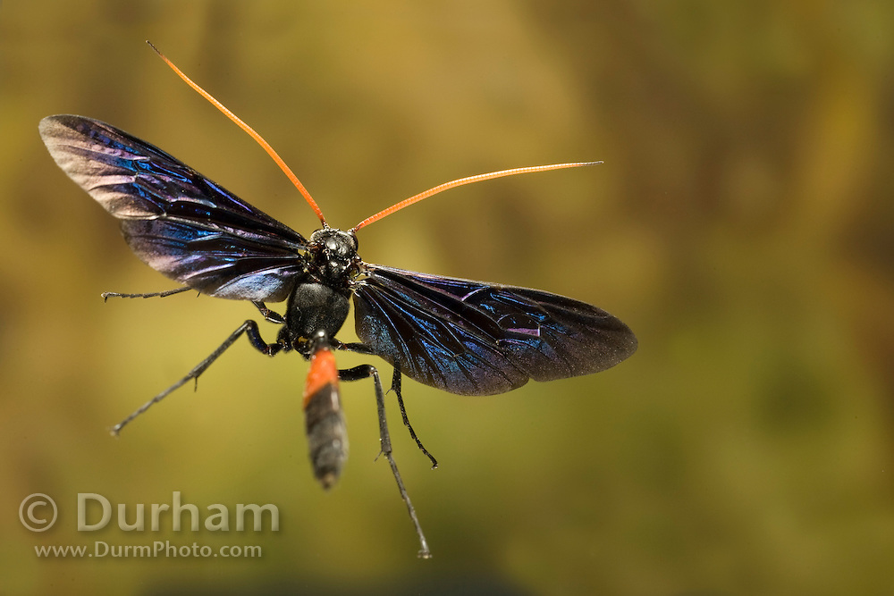 A large, ornate ichneumon wasp (Thyreodon sp.) photographed with a high-speed camera in South Texas.