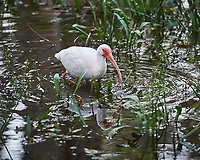White Ibis wading in Big Cypress Swamp. Image taken with a Nikon D3s camera and 70-200 mm f2.8 lens (ISO 2200, 200 mm, f/2.8, 1/500 sec).