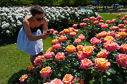 © Licensed to London News Pictures. 06/07/2013. London, UK.  A young woman admires a bed of Britannia flowers in Regents park during a sunny saturday in Regents Park, central london.  Photo credit : Richard Isaac/LNP