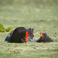 Gallinula galeata