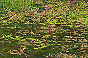 Pink flowers of water smartweed (Polygonum sp.) in pond <br />Duck Mountain Provincial Park<br />Manitoba<br />Canada